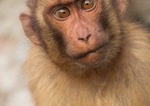 Une équipe chinoise annonce la naissance de deux primates clonés