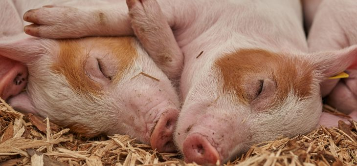 Est-il éthique de créer des animaux chimériques pour faire progresser la médecine?